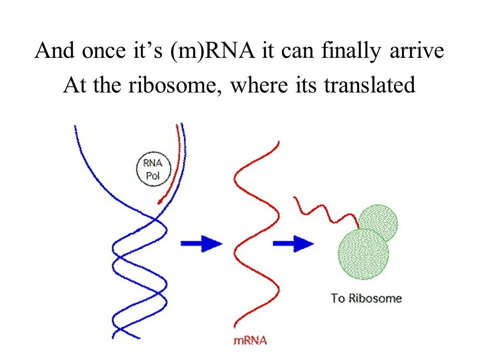 The DNA cant leave, so it first must be transcribed