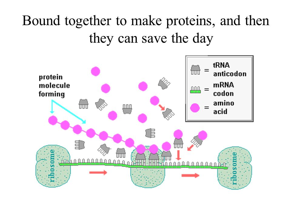 Then amino acids are brought by the tRNA