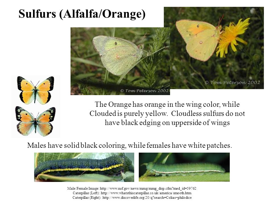 Sulfurs (Alfalfa/Orange) The Orange has orange in the wing color, while Clouded is purely yellow.