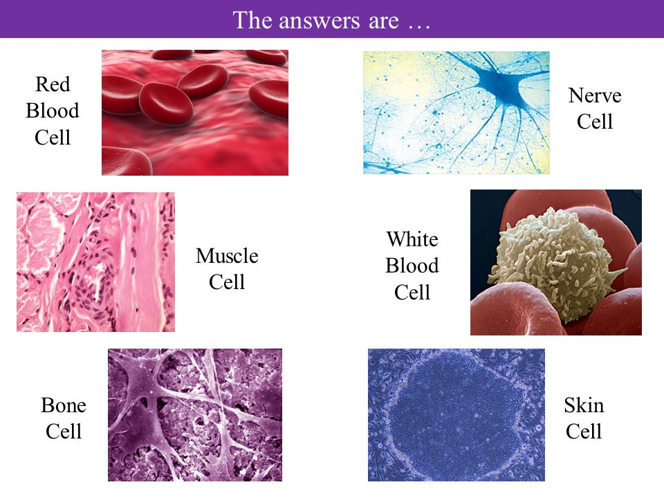The answers are … Muscle Cell Skin Cell Red Blood Cell White Blood Cell Bone Cell Nerve Cell