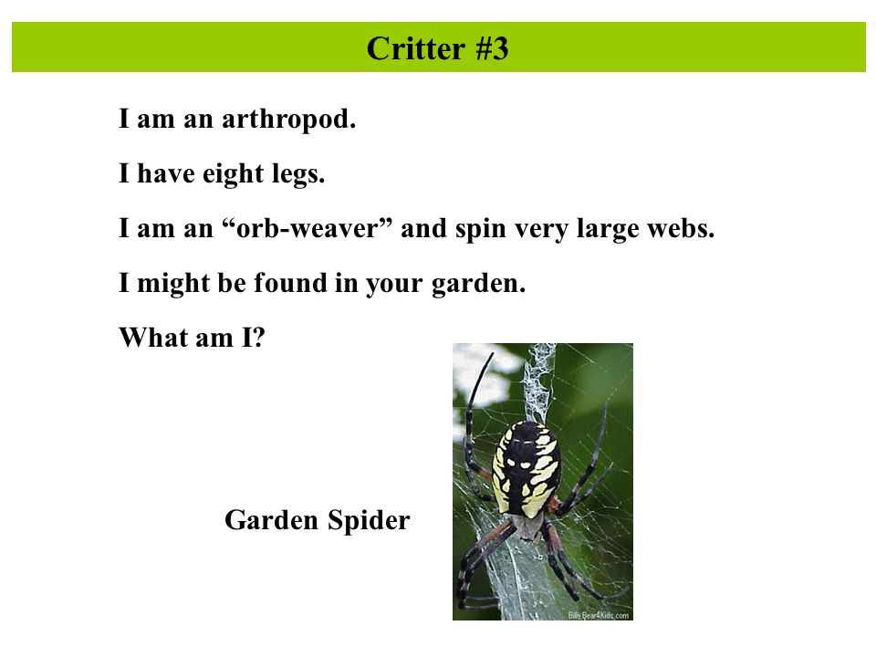 Critter #3 I am an arthropod. I have eight legs. I am an orb-weaver and spin very large webs.