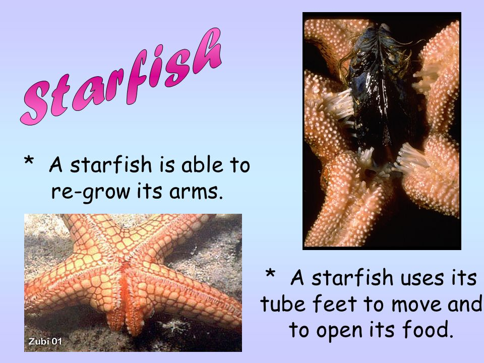 * A starfish uses its tube feet to move and to open its food.