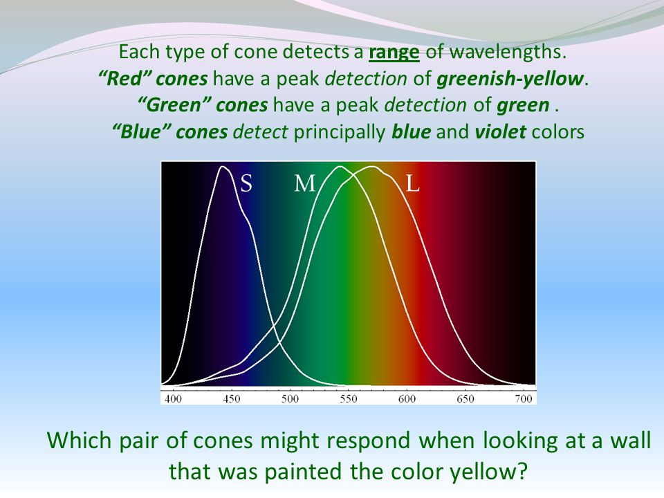 Each type of cone detects a range of wavelengths.
