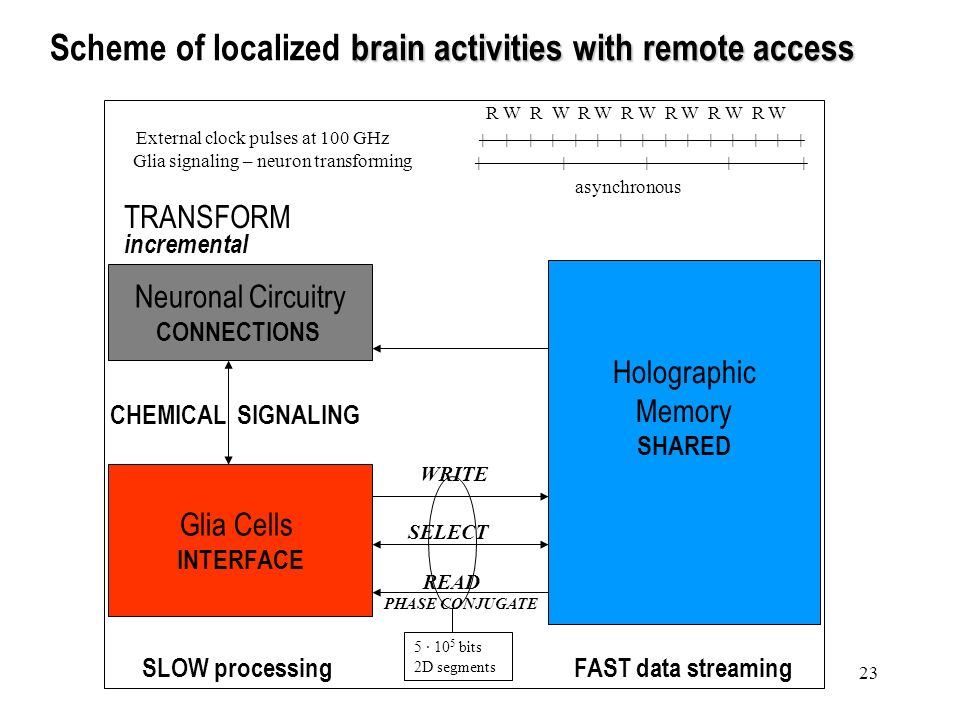 23 brain activities with remote access Scheme of localized brain activities with remote access Neuronal Circuitry CONNECTIONS Glia Cells INTERFACE Holographic Memory SHARED TRANSFORM incremental SLOW processingFAST data streaming READ PHASE CONJUGATE CHEMICAL SIGNALING R W R W R W R W R W R W R W External clock pulses at 100 GHz Glia signaling – neuron transforming asynchronous WRITE 5 · 10 5 bits 2D segments SELECT