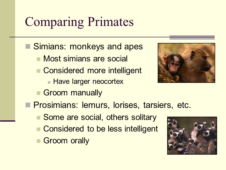 Comparing Primates Simians: monkeys and apes Most simians are social Considered more intelligent Have larger neocortex Groom manually Prosimians: lemurs, lorises, tarsiers, etc.