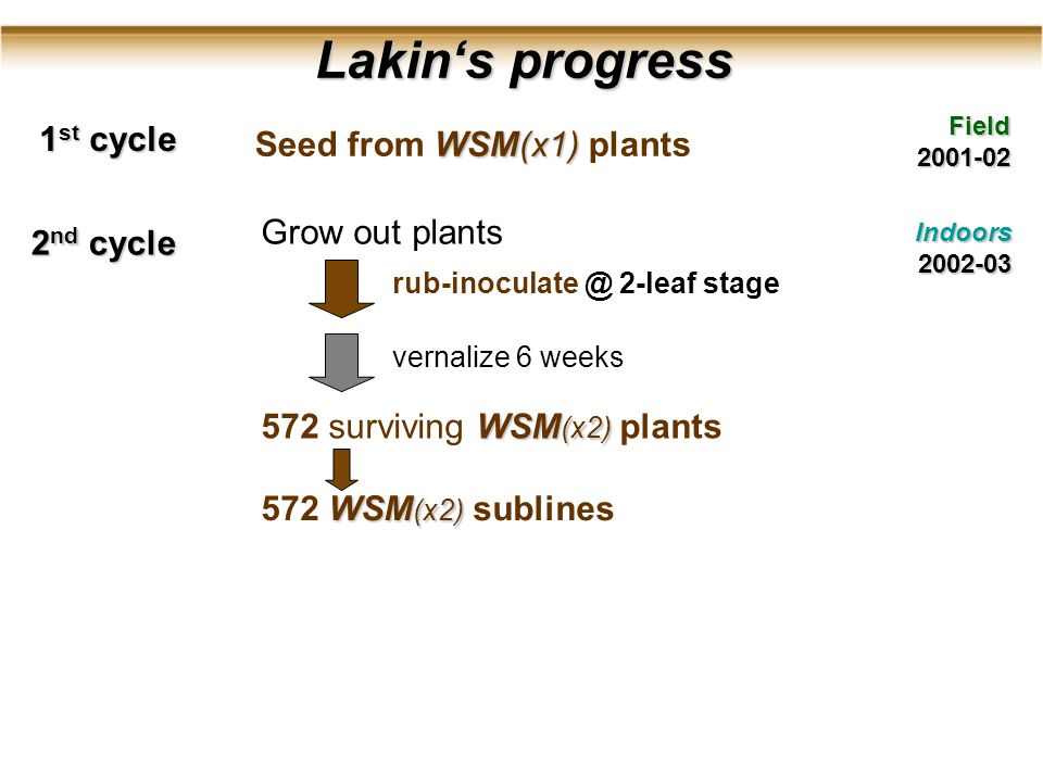 Lakins progress Lakins progress Field2001-02 1 st cycle 2 nd cycle Indoors2002-03 Grow out plants rub-inoculate @ 2-leaf stage vernalize 6 weeks WSM (x2) 572 surviving WSM (x2) plants WSM (x2) 572 WSM (x2) sublines WSM(x1) Seed from WSM(x1) plants