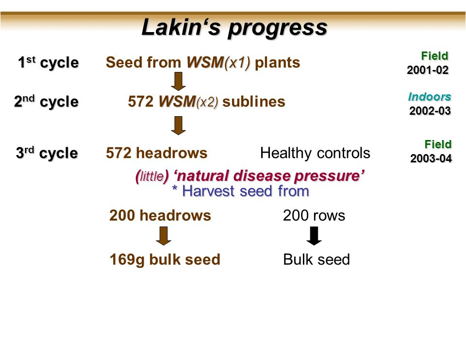Lakins progress Lakins progress 1 st cycle 2 nd cycle 3 rd cycle WSM (x2) 572 WSM (x2) sublines 572 headrowsHealthy controls ( little ) natural disease pressure * Harvest seed from 200 headrows200 rows 169g bulk seedBulk seed WSM(x1) Seed from WSM(x1) plants Field2001-02 Indoors2002-03 Field2003-04