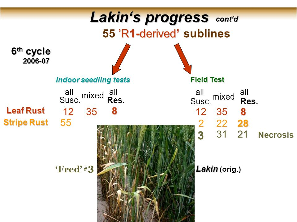 Lakins progress Lakins progress 2006-07 6 th cycle Indoor seedling tests Field Test contd R1-derived 55 R1-derived sublines Leaf Rust Stripe Rust all Susc.