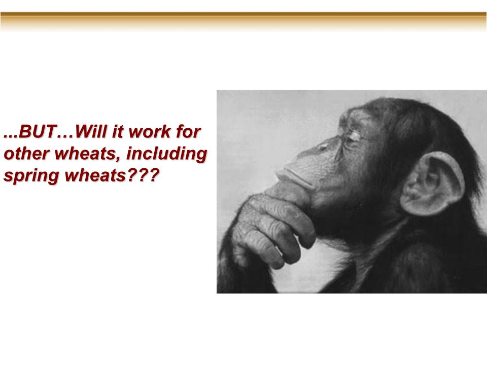 ...BUT…Will it work for other wheats, including spring wheats