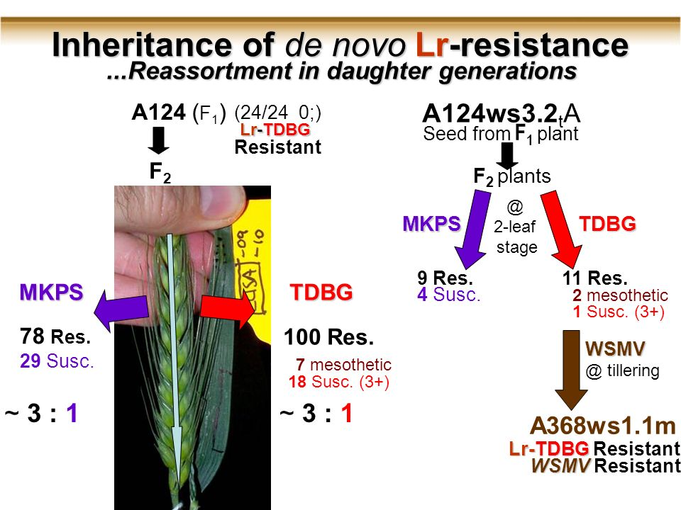 A124 ( F 1 ) Inheritance of de novo Lr-resistance...Reassortment in daughter generations (24/24 0;) Resistant MKPS 78 Res.