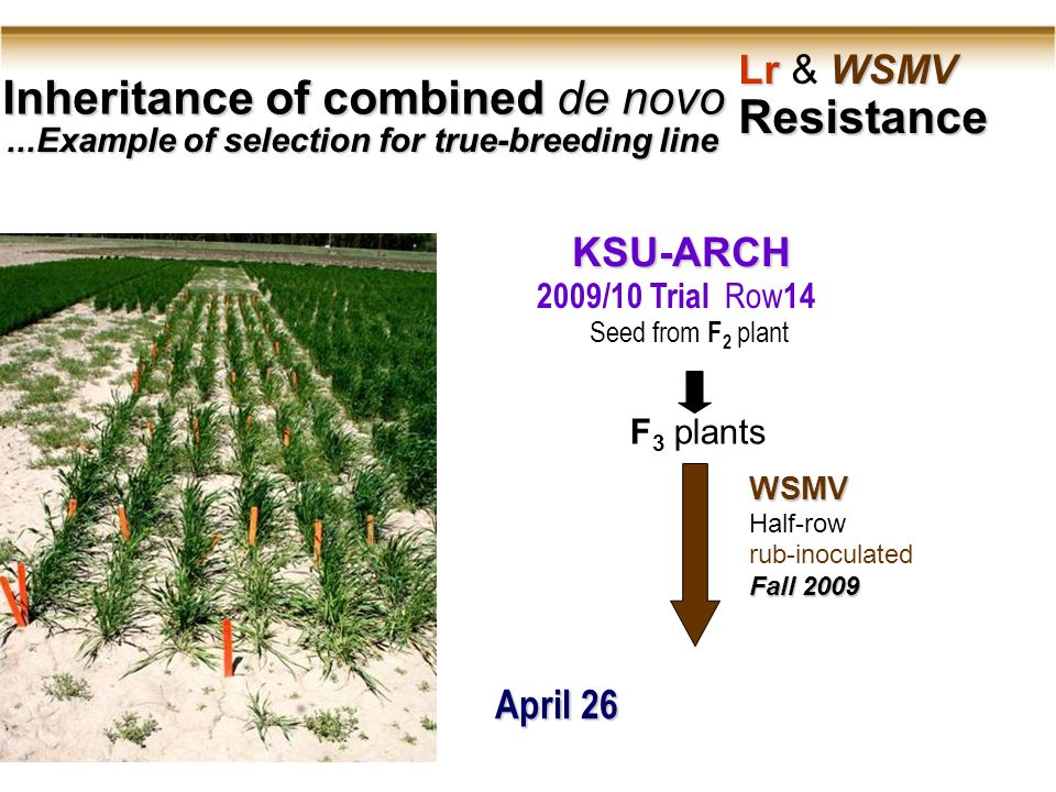 Inheritance of combined de novo Lr WSMV Lr & WSMV Resistance...Example of selection for true-breeding line WSMV Half-row rub-inoculated Fall 2009 KSU-ARCH 2009/10 Trial Row 14 F 3 plants Seed from F 2 plant April 26