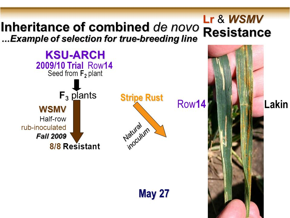 Inheritance of combined de novo Lr WSMV Lr & WSMV Resistance...Example of selection for true-breeding line WSMV Half-row rub-inoculated Fall 2009 8/8 Resistant KSU-ARCH 2009/10 Trial Row 14 F 3 plants Naturalinoculum Stripe Rust Row 14Lakin Seed from F 2 plant May 27