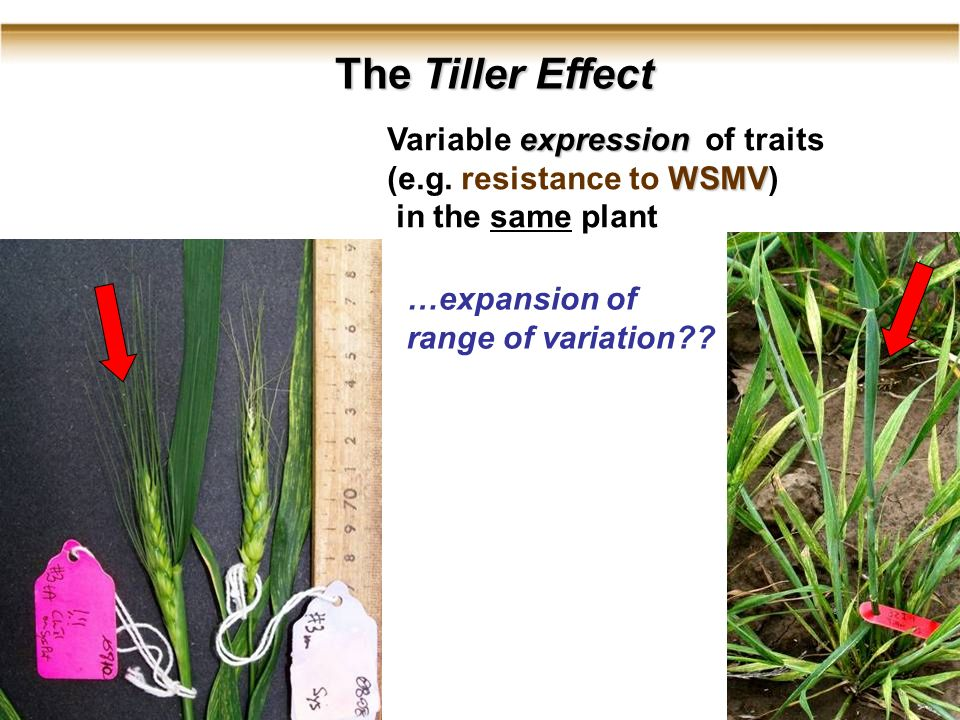 6 The Tiller Effect expression Variable expression of traits WSMV (e.g.