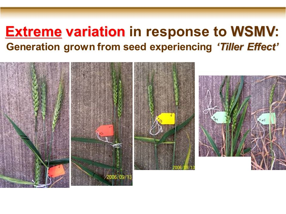 Extreme variationWSMV Extreme variation in response to WSMV: Tiller Effect Generation grown from seed experiencing Tiller Effect