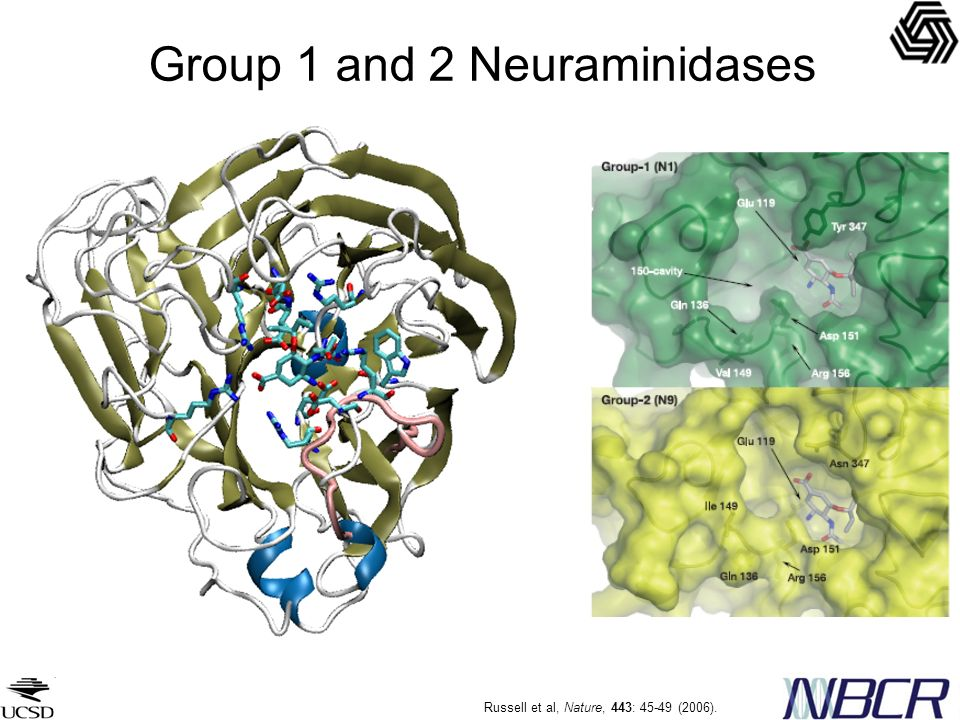Group 1 and 2 Neuraminidases Russell et al, Nature, 443: 45-49 (2006).