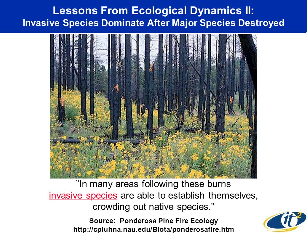 Lessons From Ecological Dynamics II: Invasive Species Dominate After Major Species Destroyed In many areas following these burns invasive species are able to establish themselves, crowding out native species.