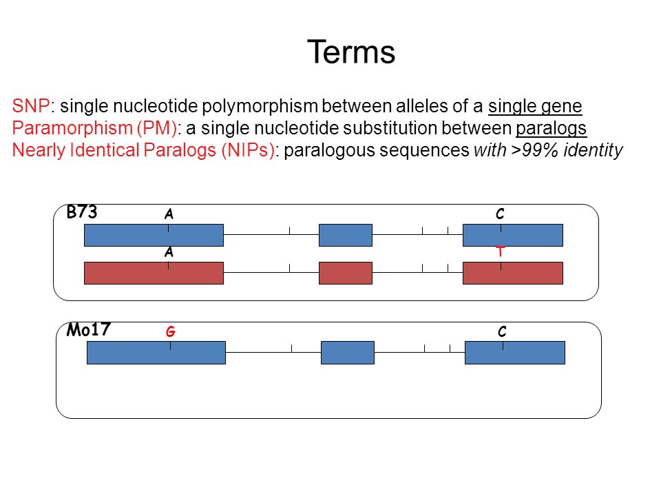 AC AT GC B73 Mo17 SNP: single nucleotide polymorphism between alleles of a single gene Paramorphism (PM): a single nucleotide substitution between paralogs Nearly Identical Paralogs (NIPs): paralogous sequences with >99% identity Terms