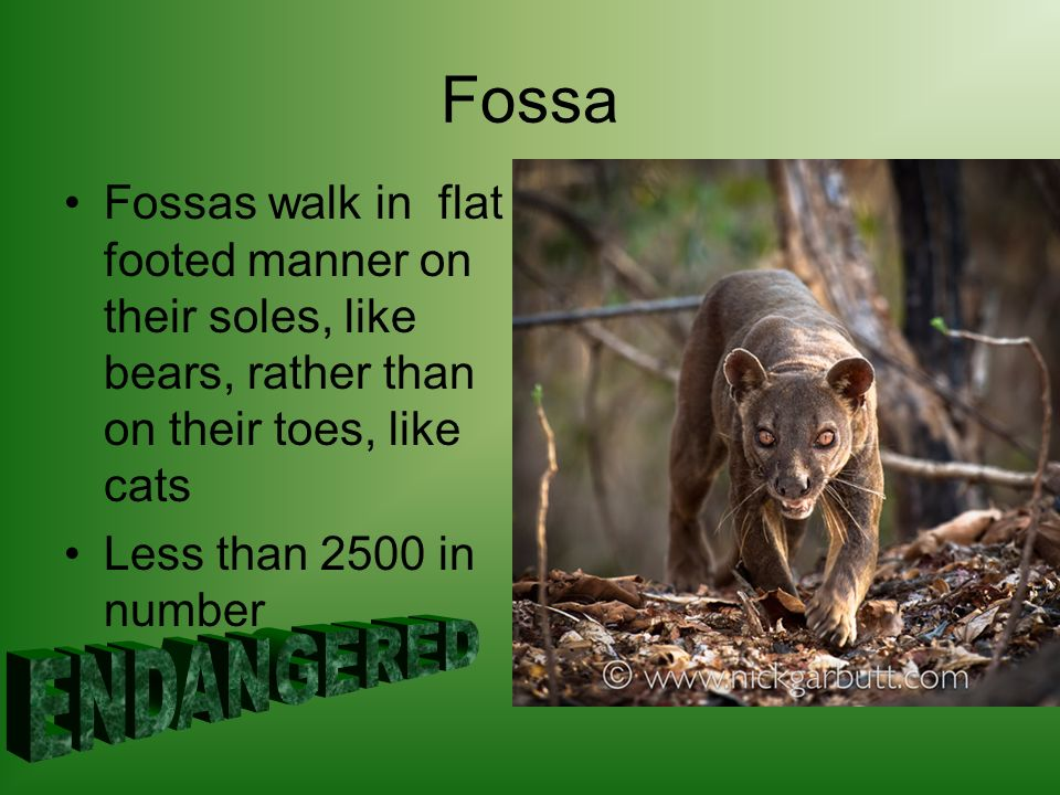 Fossa Fossas walk in flat footed manner on their soles, like bears, rather than on their toes, like cats Less than 2500 in number
