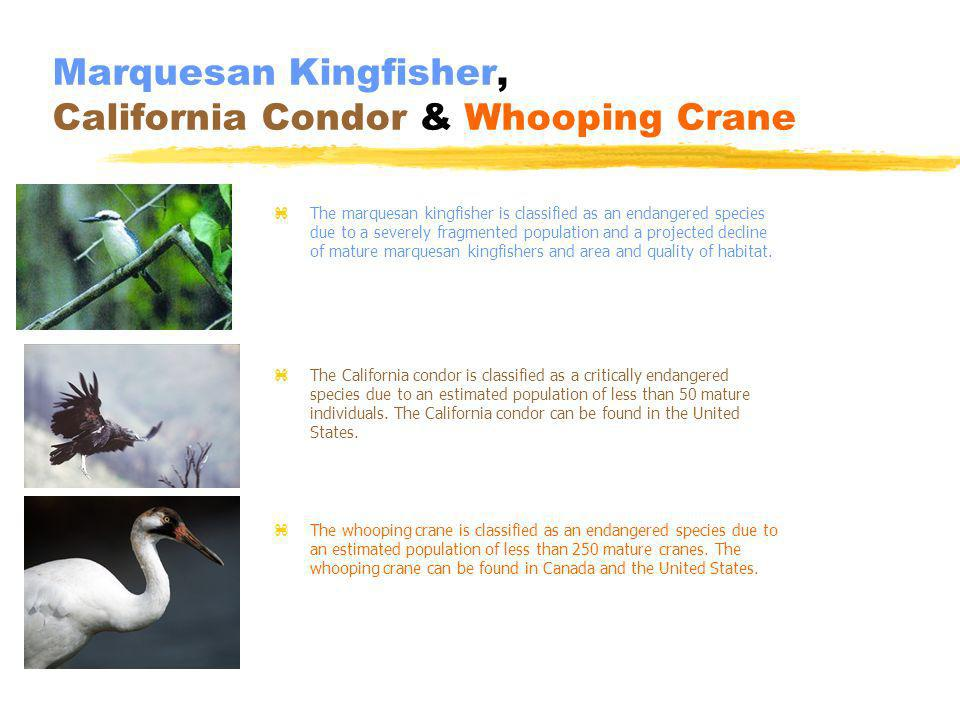 Marquesan Kingfisher, California Condor & Whooping Crane z The marquesan kingfisher is classified as an endangered species due to a severely fragmented population and a projected decline of mature marquesan kingfishers and area and quality of habitat.