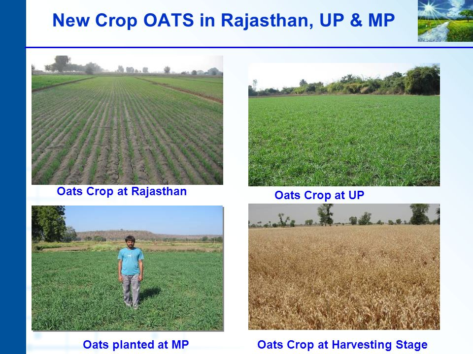 New Crop OATS in Rajasthan, UP & MP Oats planted at MPOats Crop at Harvesting Stage Oats Crop at Rajasthan Oats Crop at UP