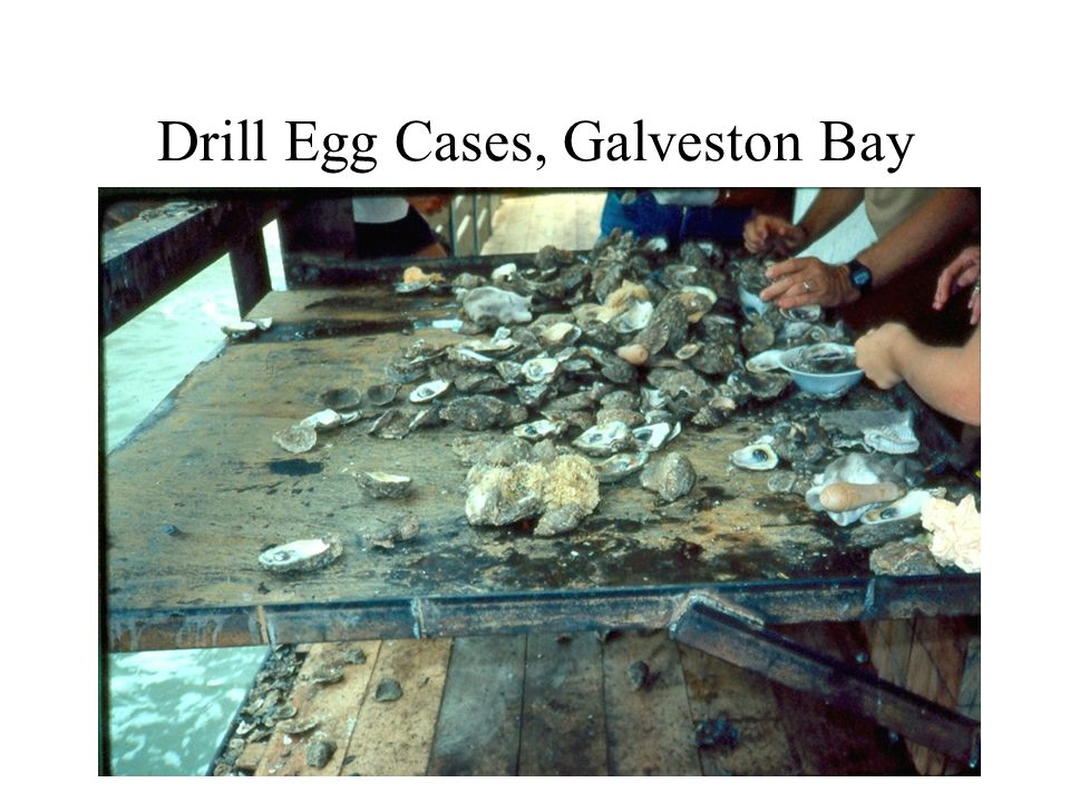 Drill Egg Cases, Galveston Bay