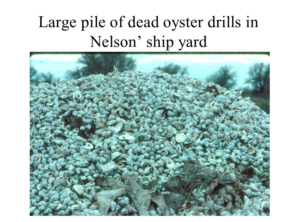 Large pile of dead oyster drills in Nelson ship yard