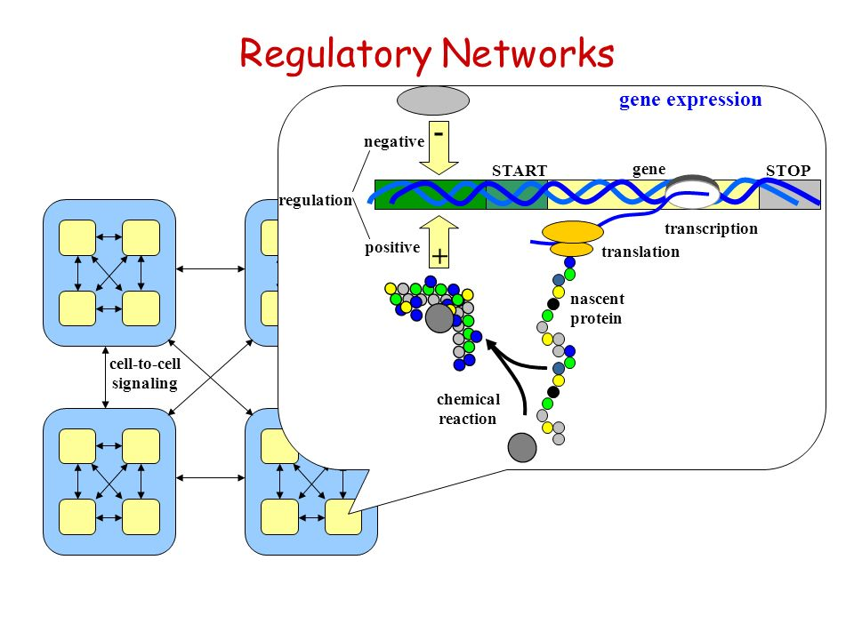 Regulatory Networks cell-to-cell signaling STARTSTOP gene transcription translation regulation nascent protein chemical reaction + - negative positive gene expression