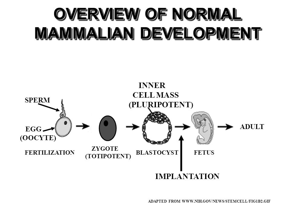 OVERVIEW OF NORMAL MAMMALIAN DEVELOPMENT ADAPTED FROM WWW.NIH.GOV/NEWS/STEMCELL/FIG1B2.GIF SPERM ZYGOTE (TOTIPOTENT) BLASTOCYSTFETUSFERTILIZATION INNER CELL MASS (PLURIPOTENT) IMPLANTATION EGG (OOCYTE) ADULT