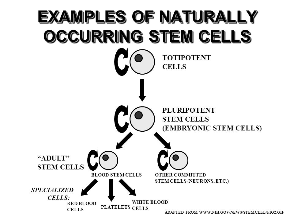 EXAMPLES OF NATURALLY OCCURRING STEM CELLS ADAPTED FROM WWW.NIH.GOV/NEWS/STEMCELL/FIG2.GIF TOTIPOTENT CELLS PLURIPOTENT STEM CELLS (EMBRYONIC STEM CELLS) OTHER COMMITTED STEM CELLS (NEURONS, ETC.) WHITE BLOOD CELLS PLATELETS RED BLOOD CELLS SPECIALIZED CELLS: BLOOD STEM CELLS ADULT STEM CELLS