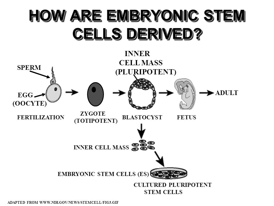 SPERM ZYGOTE (TOTIPOTENT) BLASTOCYSTFETUSFERTILIZATION INNER CELL MASS (PLURIPOTENT) EGG (OOCYTE) ADAPTED FROM WWW.NIH.GOV/NEWS/STEMCELL/FIG3.GIF ADULT HOW ARE EMBRYONIC STEM CELLS DERIVED.