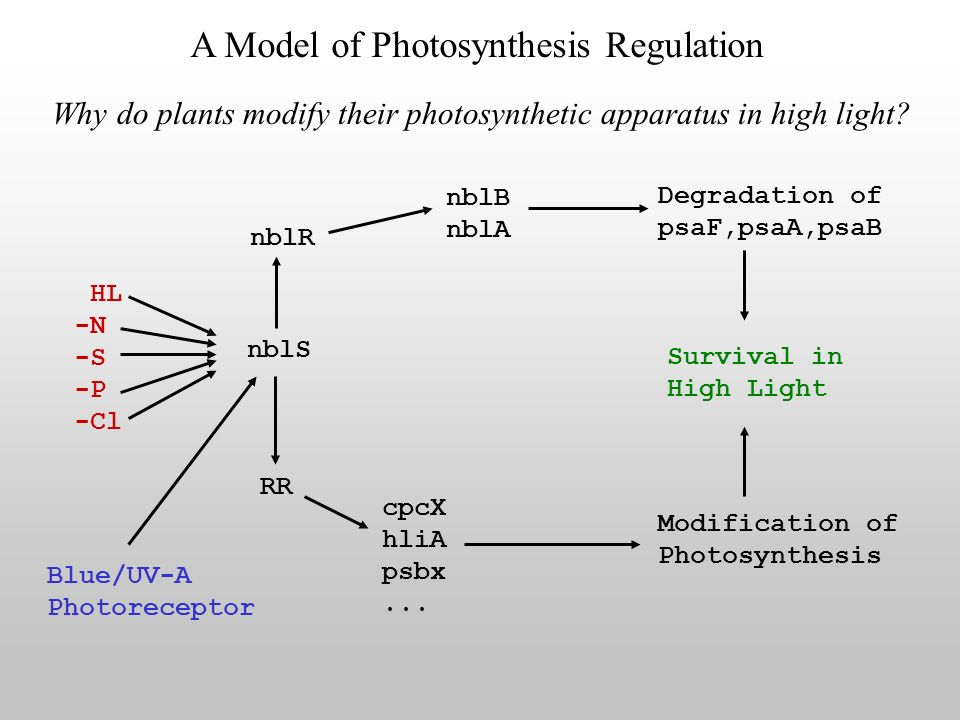 Why do plants modify their photosynthetic apparatus in high light.