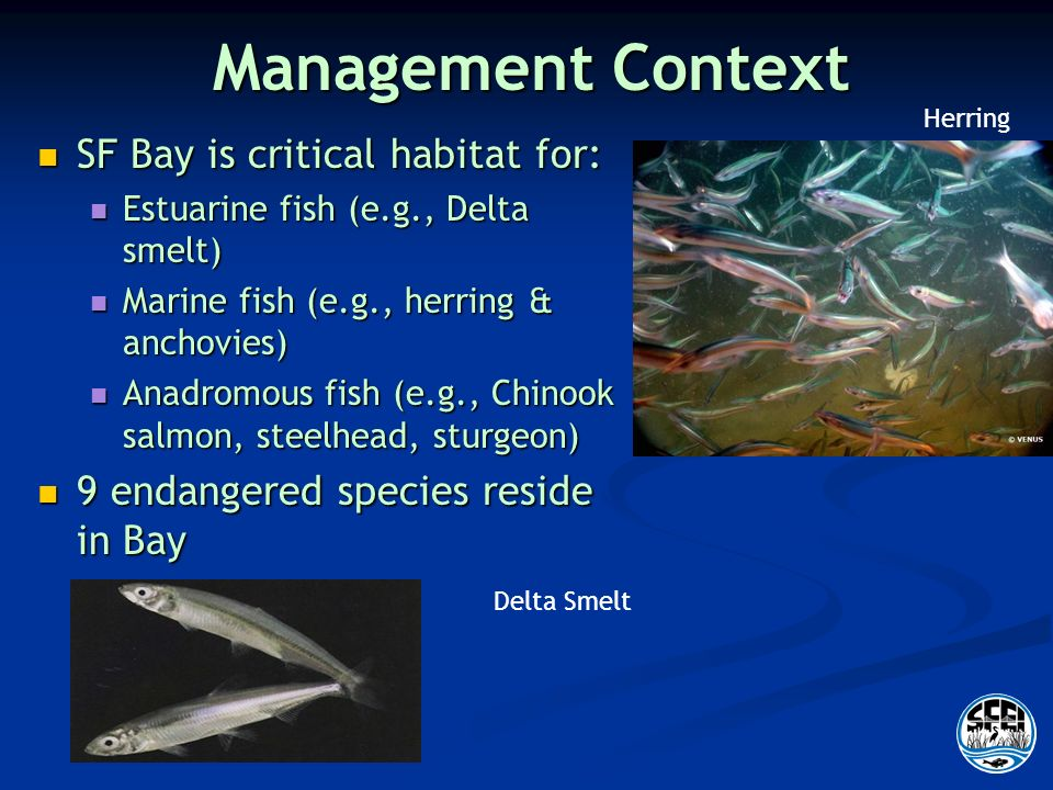 Management Context SF Bay is critical habitat for: SF Bay is critical habitat for: Estuarine fish (e.g., Delta smelt) Estuarine fish (e.g., Delta smelt) Marine fish (e.g., herring & anchovies) Marine fish (e.g., herring & anchovies) Anadromous fish (e.g., Chinook salmon, steelhead, sturgeon) Anadromous fish (e.g., Chinook salmon, steelhead, sturgeon) 9 endangered species reside in Bay 9 endangered species reside in Bay Herring Delta Smelt