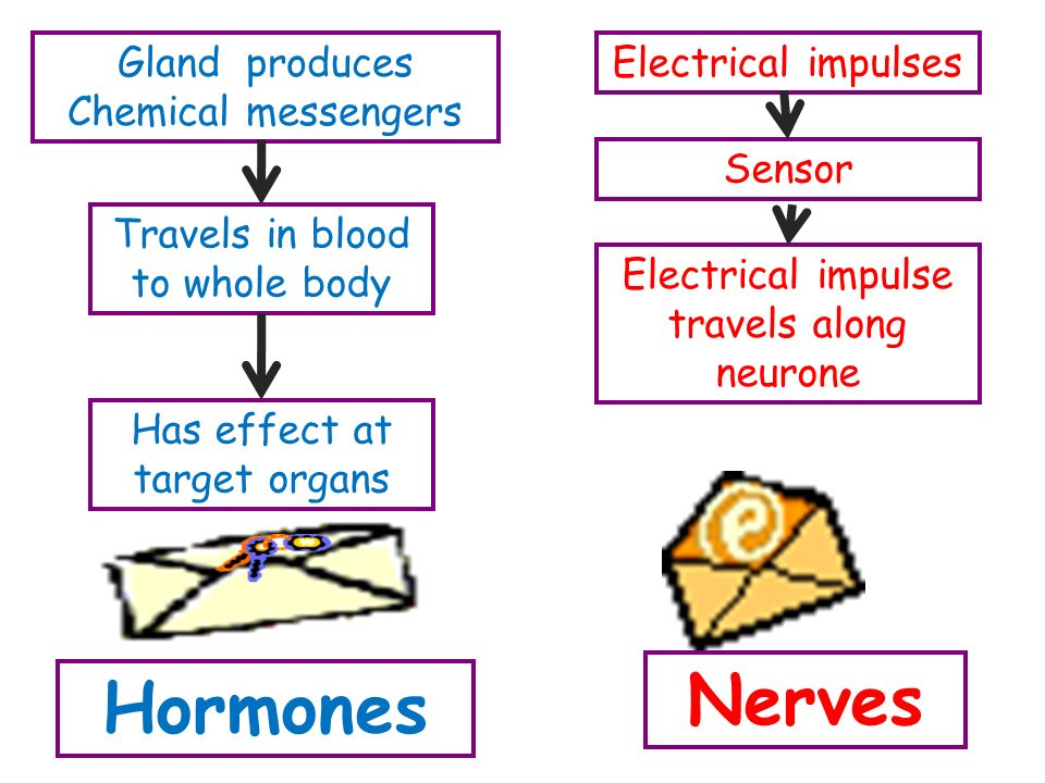 Hormones Nerves Gland produces Chemical messengers Travels in blood to whole body Has effect at target organs Electrical impulses Sensor Electrical impulse travels along neurone
