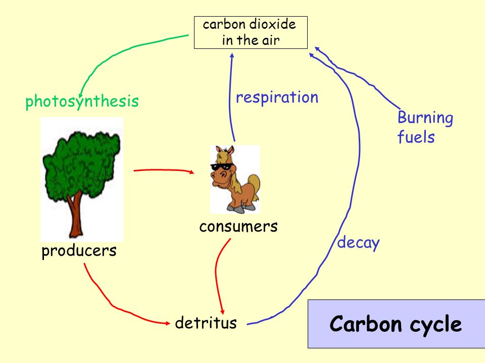 Carbon cycle carbon dioxide in the air photosynthesis consumers respiration Burning fuels producers detritus decay