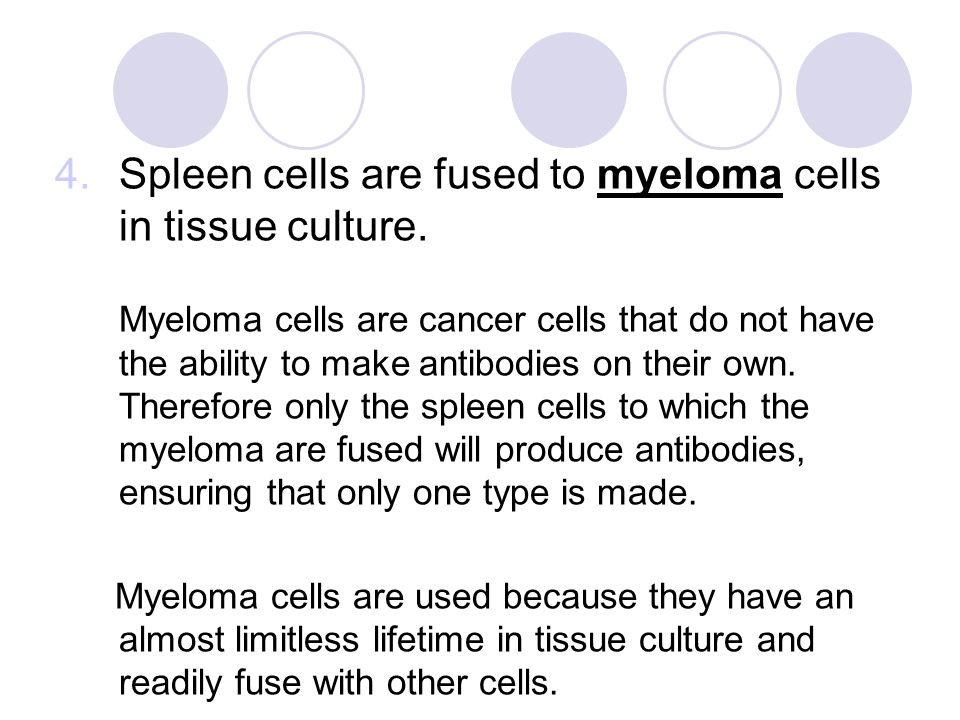 4.Spleen cells are fused to myeloma cells in tissue culture.
