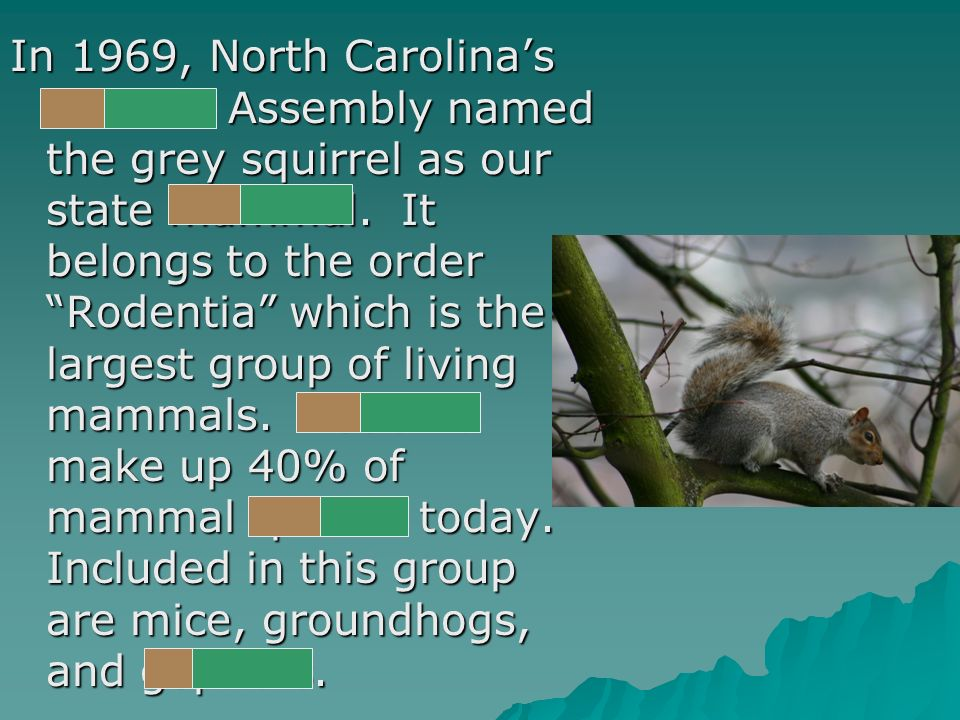 In 1969, North Carolinas General Assembly named the grey squirrel as our state mammal.