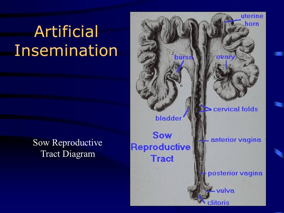 Artificial Insemination Bovine Reproductive Tract Diagram