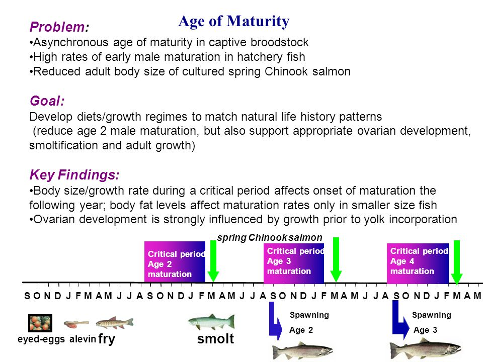 Age of Maturity Problem: Asynchronous age of maturity in captive broodstock High rates of early male maturation in hatchery fish Reduced adult body size of cultured spring Chinook salmon Goal: Develop diets/growth regimes to match natural life history patterns (reduce age 2 male maturation, but also support appropriate ovarian development, smoltification and adult growth) Key Findings: Body size/growth rate during a critical period affects onset of maturation the following year; body fat levels affect maturation rates only in smaller size fish Ovarian development is strongly influenced by growth prior to yolk incorporation eyed-eggs alevin fry smolt Critical period Age 2 maturation SONDJFMAMJJASONDJFMAMJJASONDJFMAMJJASONDJFMAM Critical period Age 4 maturation Critical period Age 3 maturation Spawning Age 3 Spawning Age 2 spring Chinook salmon