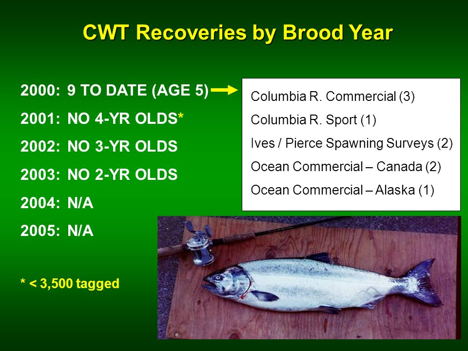 CWT Recoveries by Brood Year 2000: 9 TO DATE (AGE 5) 2001:NO 4-YR OLDS* 2002:NO 3-YR OLDS 2003:NO 2-YR OLDS 2004:N/A 2005: N/A * < 3,500 tagged Columbia R.
