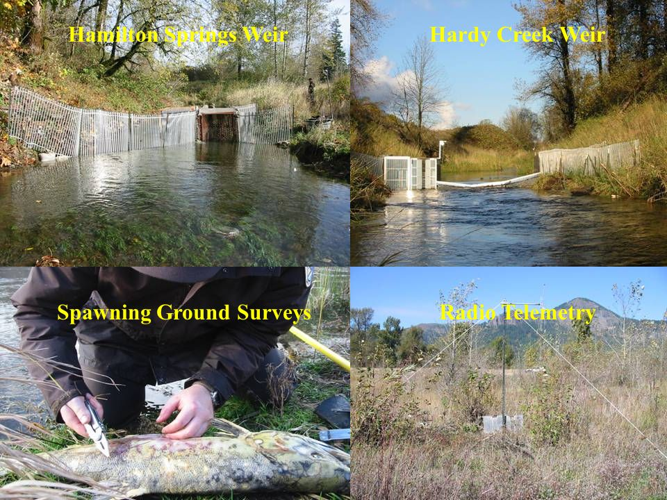 Hamilton Springs WeirHardy Creek Weir Spawning Ground SurveysRadio Telemetry