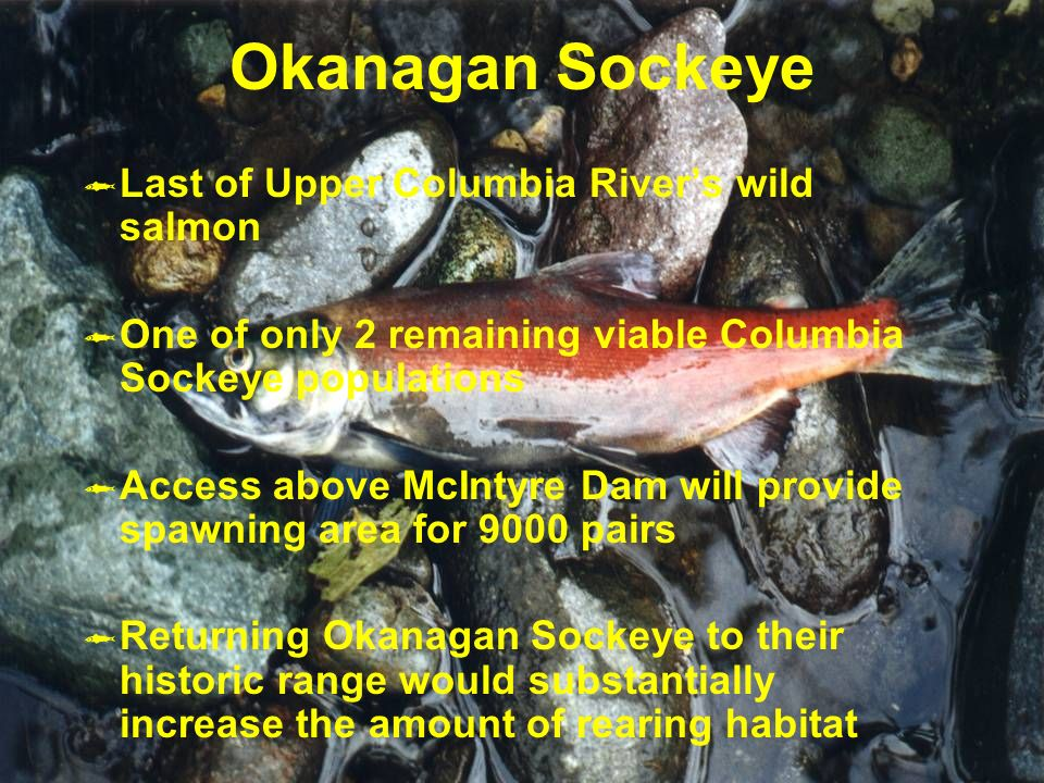 Okanagan Sockeye Last of Upper Columbia Rivers wild salmon One of only 2 remaining viable Columbia Sockeye populations Access above McIntyre Dam will provide spawning area for 9000 pairs Returning Okanagan Sockeye to their historic range would substantially increase the amount of rearing habitat