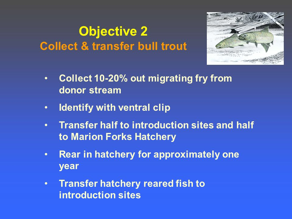Objective 2 Collect & transfer bull trout Collect 10-20% out migrating fry from donor stream Identify with ventral clip Transfer half to introduction sites and half to Marion Forks Hatchery Rear in hatchery for approximately one year Transfer hatchery reared fish to introduction sites