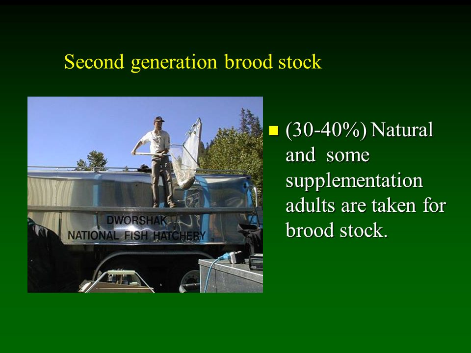 Second generation brood stock (30-40%) Natural and some supplementation adults are taken for brood stock.