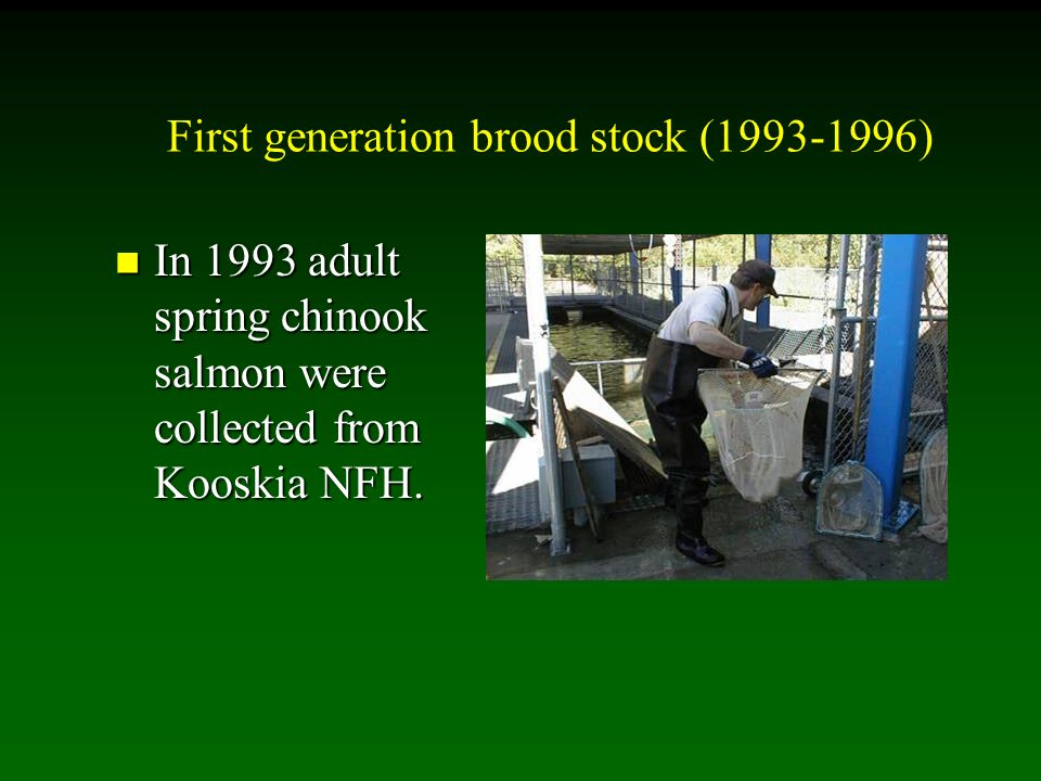 First generation brood stock (1993-1996) In 1993 adult spring chinook salmon were collected from Kooskia NFH.