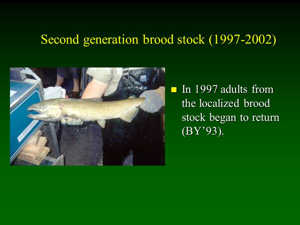 Second generation brood stock (1997-2002) In 1997 adults from the localized brood stock began to return (BY93).