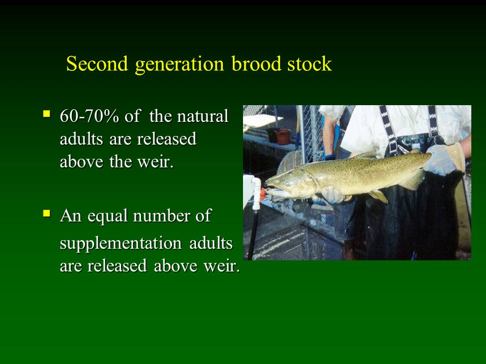 Second generation brood stock 60-70% of the natural adults are released above the weir.