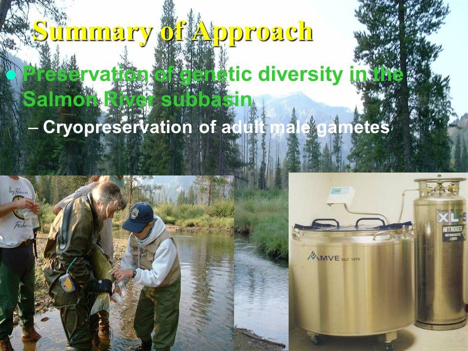Summary of Approach Preservation of genetic diversity in the Salmon River subbasin –Cryopreservation of adult male gametes