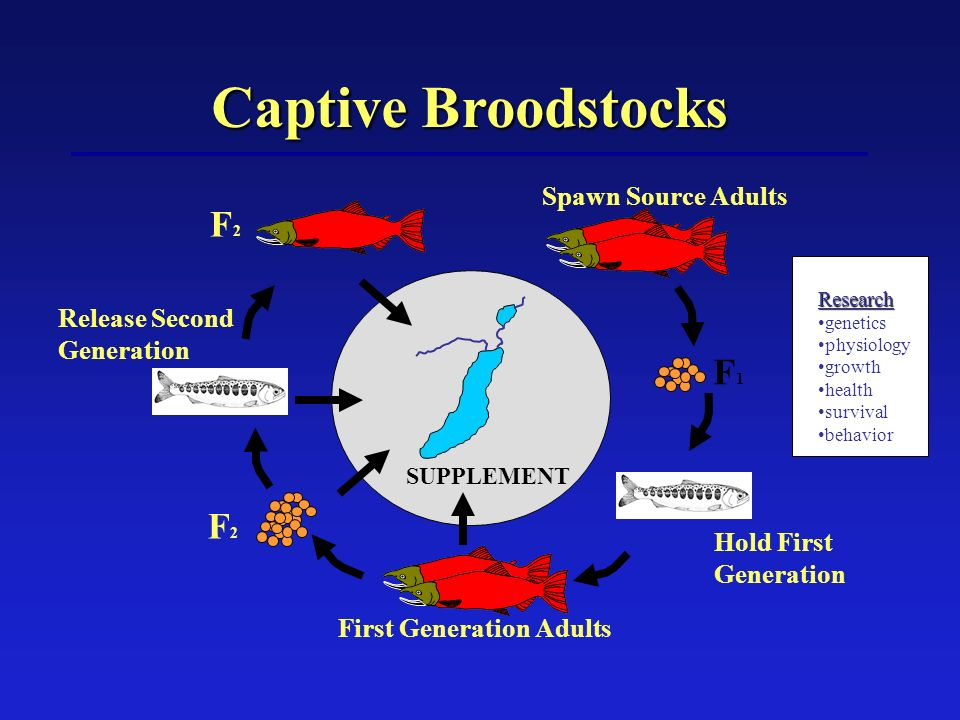 Captive Broodstocks Spawn Source Adults F1F1 F2F2 F2F2 SUPPLEMENT Hold First Generation Release Second Generation First Generation Adults Research genetics physiology growth health survival behavior