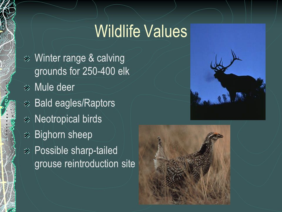 Wildlife Values Winter range & calving grounds for 250-400 elk Mule deer Bald eagles/Raptors Neotropical birds Bighorn sheep Possible sharp-tailed grouse reintroduction site