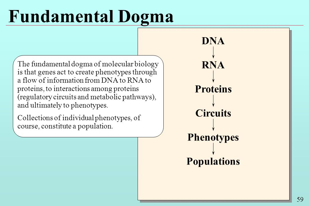 59 Fundamental Dogma The fundamental dogma of molecular biology is that genes act to create phenotypes through a flow of information from DNA to RNA to proteins, to interactions among proteins (regulatory circuits and metabolic pathways), and ultimately to phenotypes.